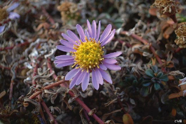 磯寒菊の画像