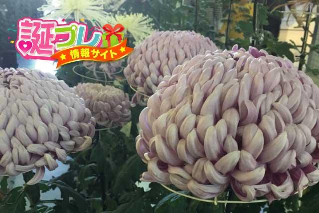 厚物菊の画像