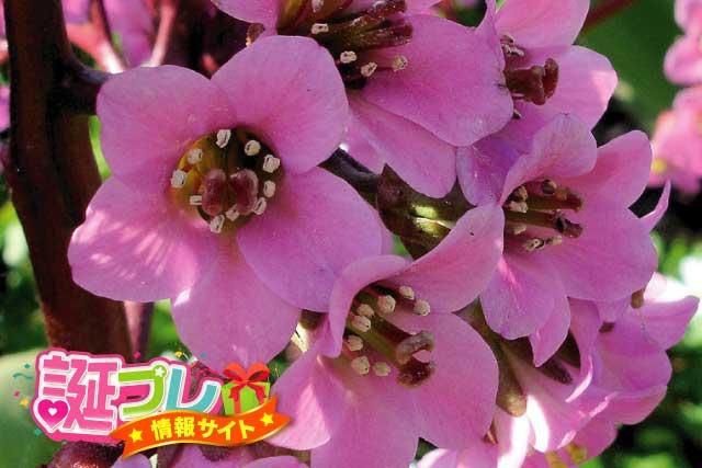 ヒマラヤユキノシタの花の画像
