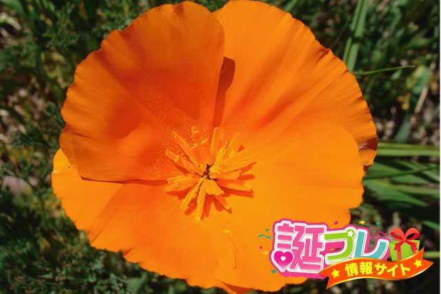 ハナビシソウの花の画像