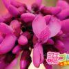 別名ユダの木と呼ばれているハナズオウの花言葉