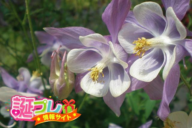 オダマキの花の画像