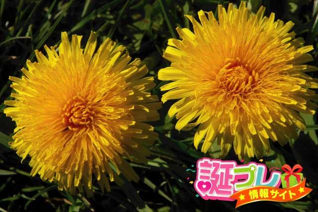 たんぽぽの花の画像
