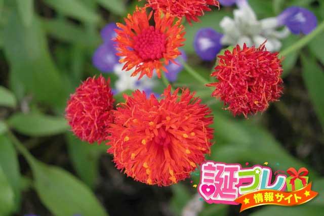 カカリアの花