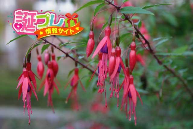 フクシアの花の画像