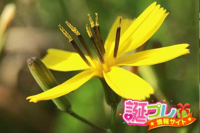 ニガナの花の画像