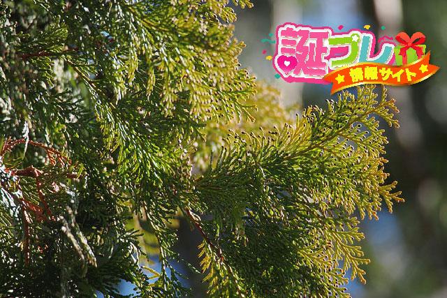 檜の葉の画像