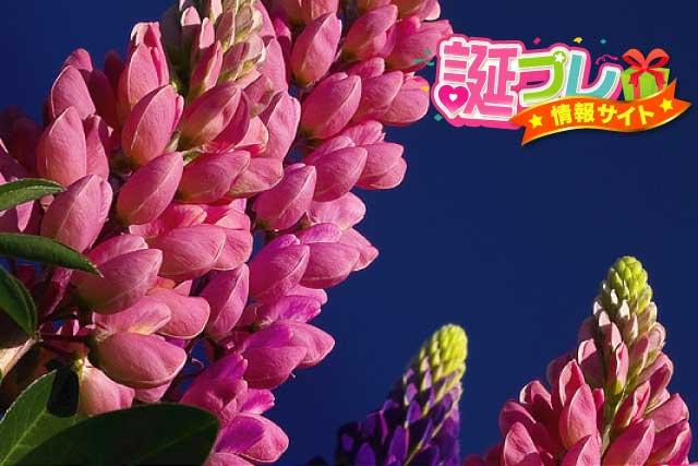 ルピナスの花の画像