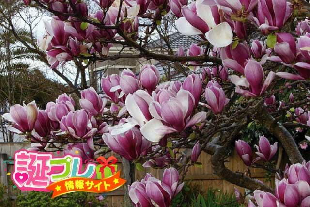 木蓮の画像