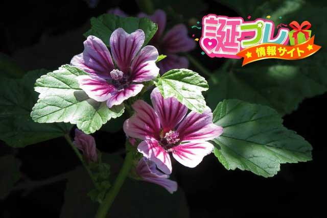 銭葵(ゼニアオイ)の花言葉   誕プレ