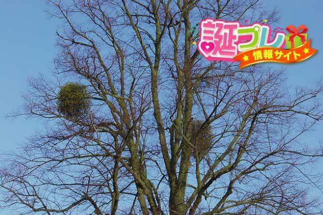 木の上のヤドリギの画像