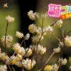 1万円札の紙幣の原料として有名なミツマタ(三椏)の花言葉