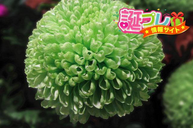 ポンポン菊の画像