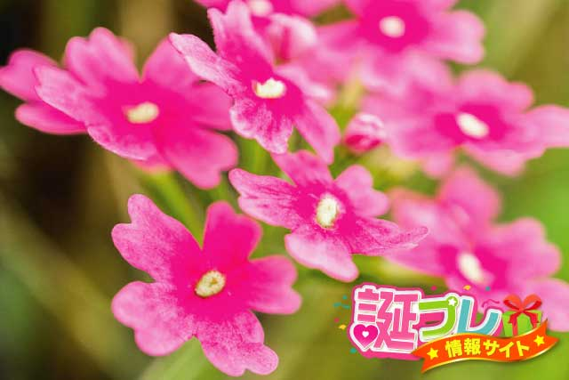 桜草の画像
