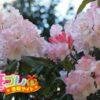 高嶺の花の由来と言われるシャクナゲの花言葉は4つの言葉