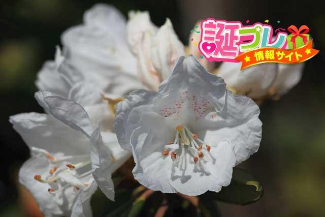 シャクナゲの花の画像