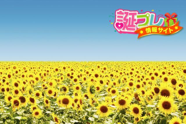 ひまわり畑の画像