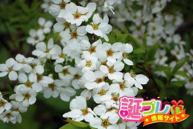 雪柳の花の画像