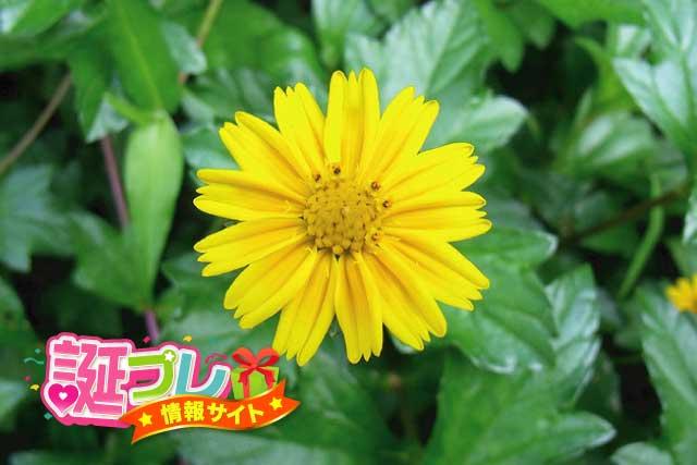 野菊の画像