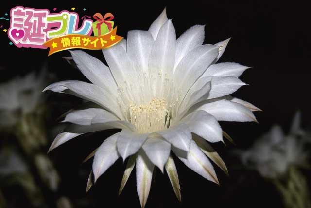 月下美人の花の画像