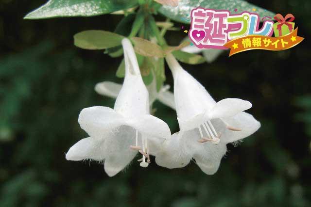 アベリアの花の画像
