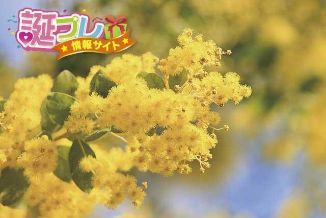 アカシアの花の画像