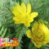 福寿草の花言葉は幸福に関係した3つの言葉