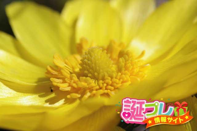 福寿草の花の画像
