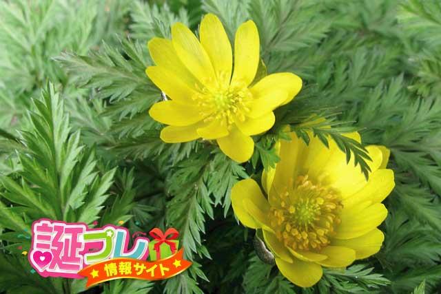 福寿草の画像