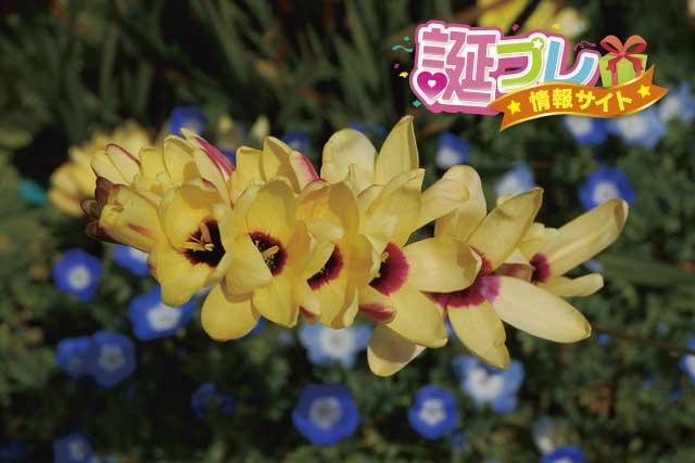 イキシアの花の画像