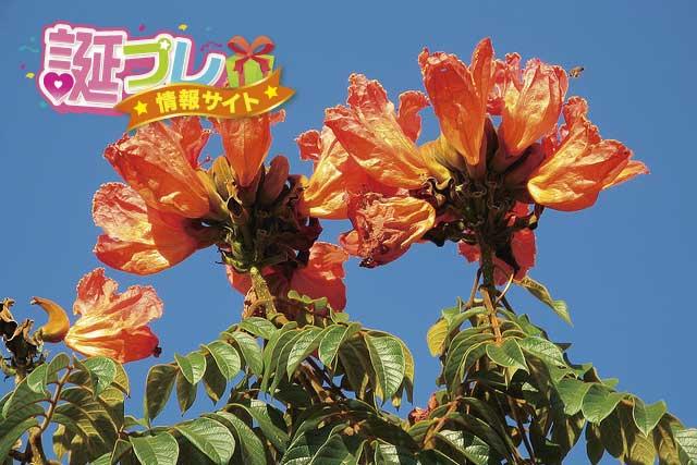 カエンボクの花の画像