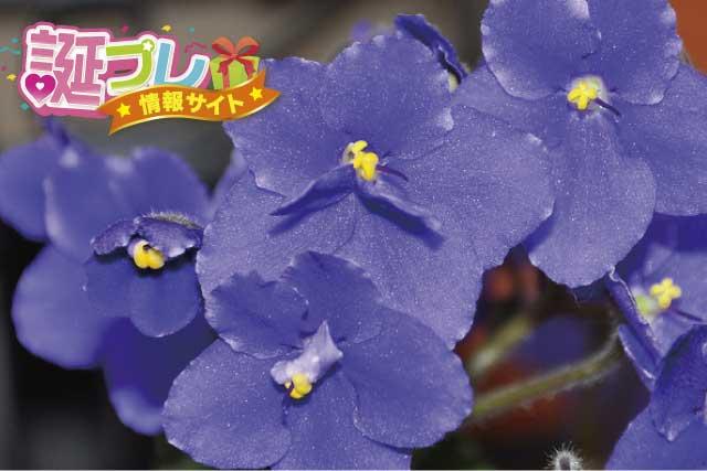 セントポーリアの花の画像