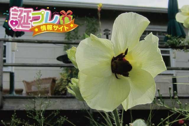 トロロアオイの花の画像
