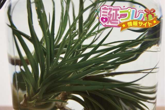 エアープランツ・エアータイプ緑葉種の画像
