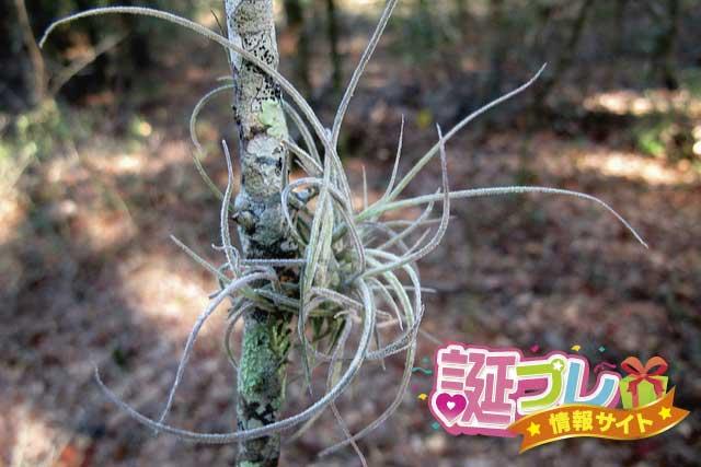 エアープランツ・エアータイプ銀葉種の画像