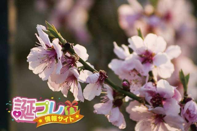 アーモンドの花の画像