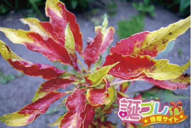 ハゲイトウの花の画像