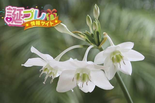 ユーチャリスの花の画像