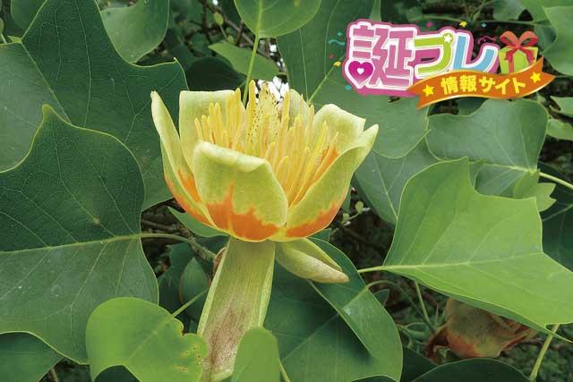 ユリノキの花の画像