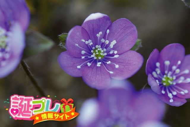 ミスミソウの花の画像