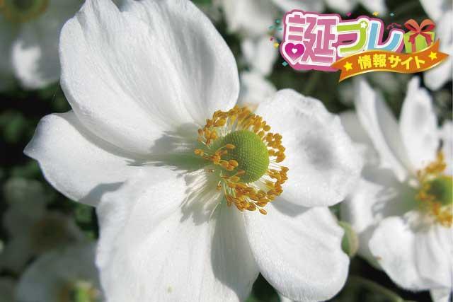 シュウメイギクの花の画像