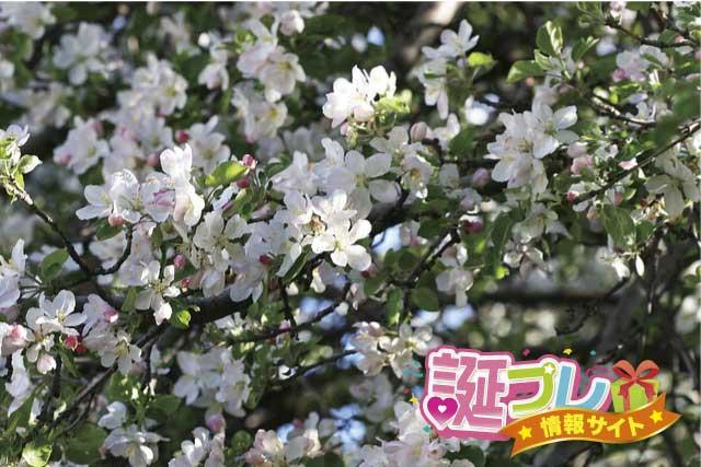 「りんごの花」の画像