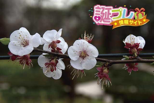 杏の花の画像