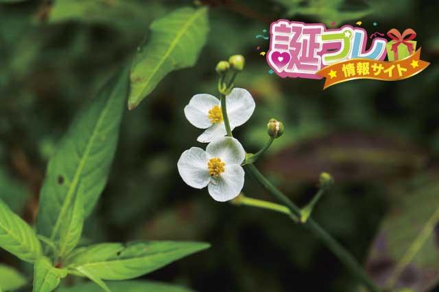 オモダカの花の画像