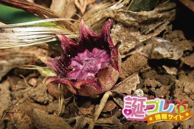 ハランの花の画像
