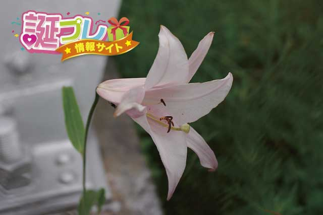 ササユリの花の画像