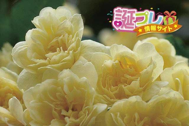 モッコウバラの花の画像