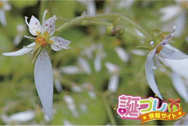 ユキノシタの花の画像