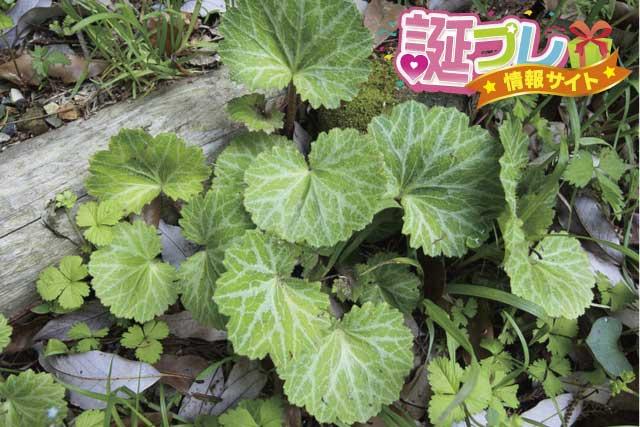 ユキノシタの画像