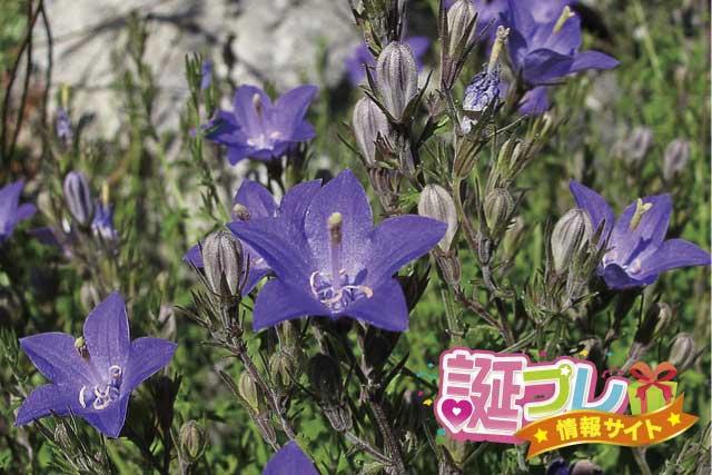 カンパニュラの花の画像